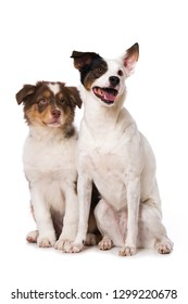 A australian shepherd puppy and a adult cross breed dog on white background