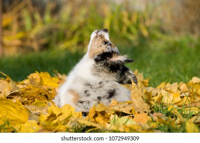 Australian shepherd puppy in autumn leaves