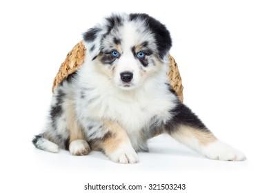 Australian Shepherd Puppy Dog With Basket
