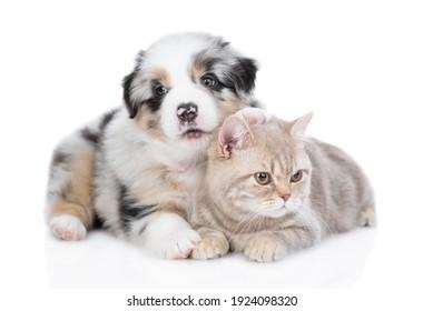 Australian shepherd puppy hugs british cat and looks at camera. isolated on white background