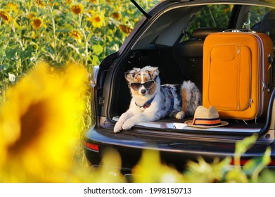 Australian shepherd puppy laying in the car trunk with baggage