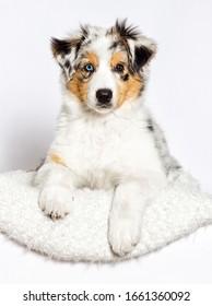australian shepherd puppy lies on a white fluffy carpet