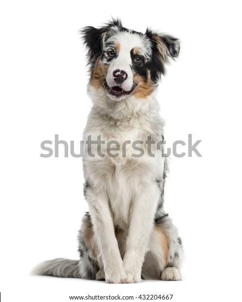 Australian Shepherd Puppy Looking Camera Sitting Stock Photo (Edit