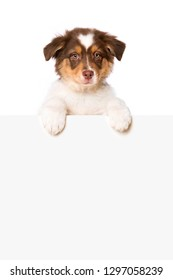 Australian shepherd puppy looking over a wall on white background