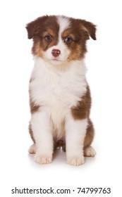 Australian Shepherd puppy on white