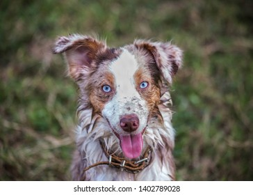 Australian Shepherd puppy playing outside in the mud, muddy dog outdoor portrait, red merle young pet dog with bright blue eyes one ear up