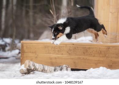 Australian shepherd puppy playing in the yard in winter