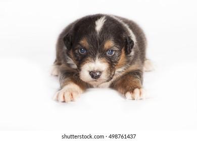 Australian Shepherd puppy in studio