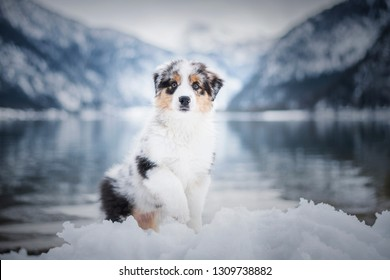 Australian shepherd puppy in winter. Puppy in the snow in beautiful landscape. Puppy at the lake.
