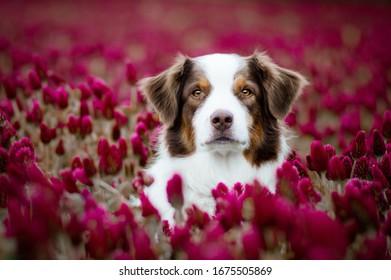 Australian shepherd in the red flowers