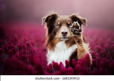 Australian shepherd in red flowers