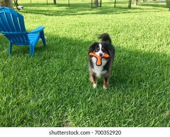 Australian Shepherd retrieving his favorite toy.