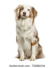 Australian Shepherd sitting, isolated on white