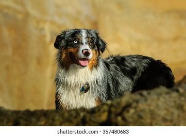 Australian Shepherd standing by rock and bluffs