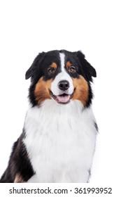 Australian Shepherd, studio portrait dog on a white background