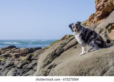 Australian Shepherd watches the tide from a rocky perch