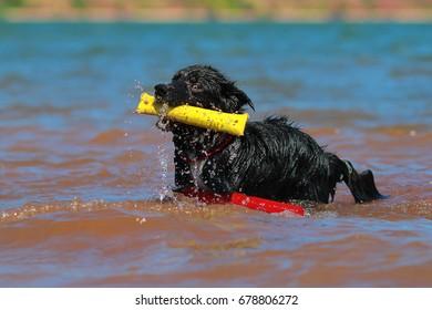Australian shepherd in the water