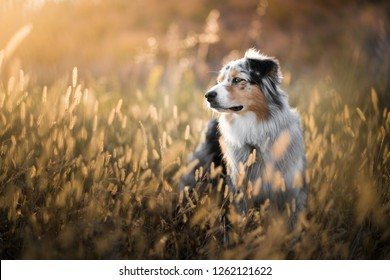 Australian shepherd in the wheat field