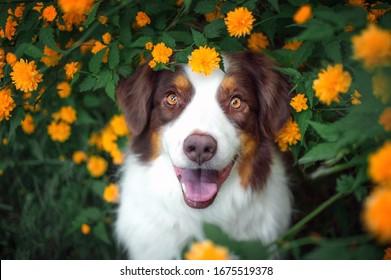 Australian shepherd in the yellow flowers