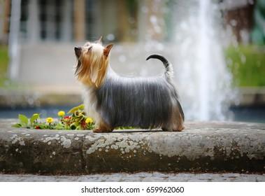 Australian Silky Terrier - Ch. Dress Code Silk of Bohemia