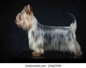 Australian Silky Terrier on black background