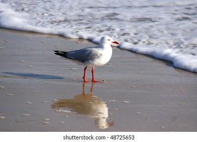 Australian Silver Gull at the Beach - Chroicocephalus novaehollandiae
