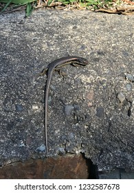 Australian skink sunbathing on a nice day