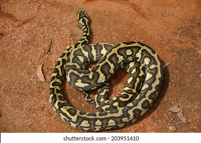Australian Snake Curled Up On The Ground