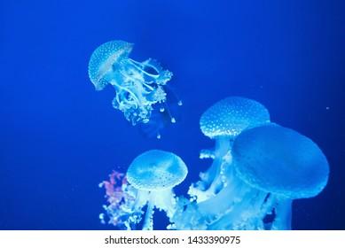 australian spotted jellyfish underwater on blue background