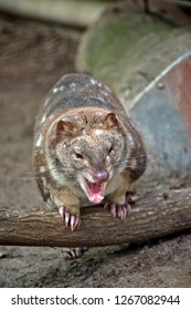 the  Australian spotted quoll is a cat like marsupial,