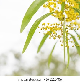 Australian Spring wattle flowers with neutral background for copy space
