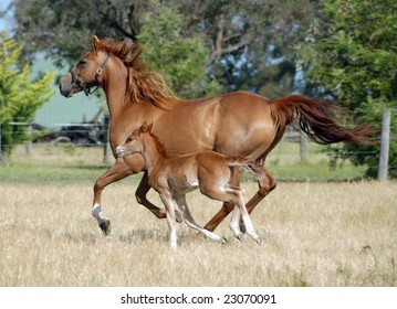 Australian Stock Horse cross.with foal