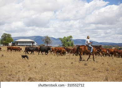 Australian stock man with cattle