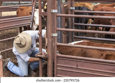Australian stockman checking cattle