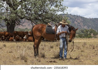 Australian stockman with horse and cattle