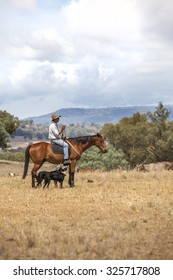 Australian stockman on horse with dogs