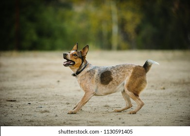 Australian Stuby Tail Cattle Dog outdoor portrait in field