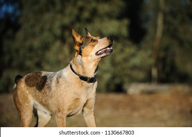 Australian Stumpy Tail Cattle Dog outdoor portrait
