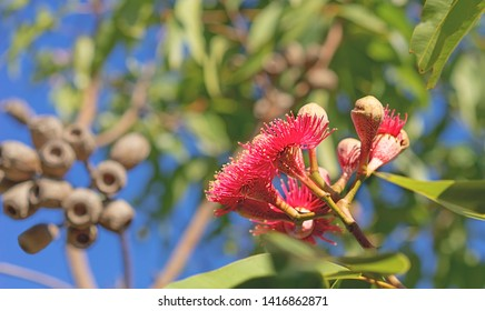 Australian Swamp Bloodwood gum tree flowering with red eucalyptus flowers, foliage and gum nuts