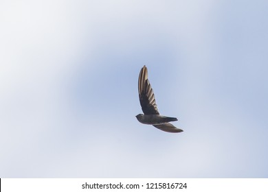 Australian Swiftlet Aerodramus terraereginae in Daintree, Queensland, Australia