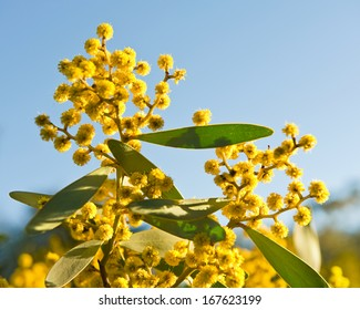Australian symbol- australian acacia Wattle blooms - on sky natural background