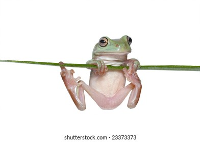 Australian Tree Frog (Litoria caerulea) hang on Branch
