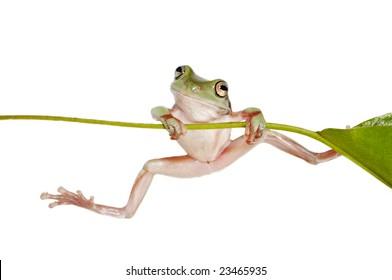 Australian Tree Frog Litoria caerulea on Branch