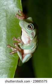 Australian tree frog (Litoria caerulea) peeking out from behind the leaves