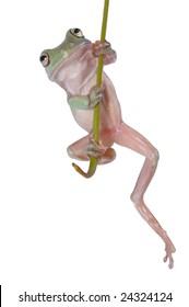 Australian Tree Frog Litoria caerulea hang on Branch