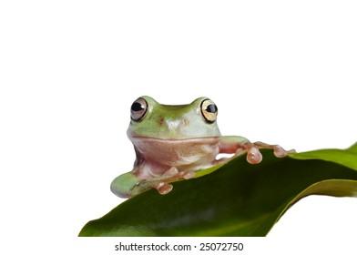 Australian tree frog Litoria caerulea on the leaf