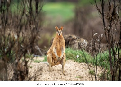 Australian wallaby coming out of the bush to feast on fresh green grass