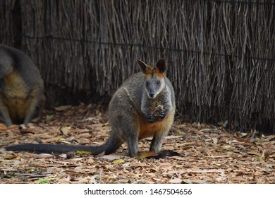 Australian wallaby eating but staying alert.