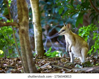 Australian wallaby staring across the forest