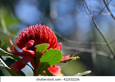 Australian Waratah in the sunlight
